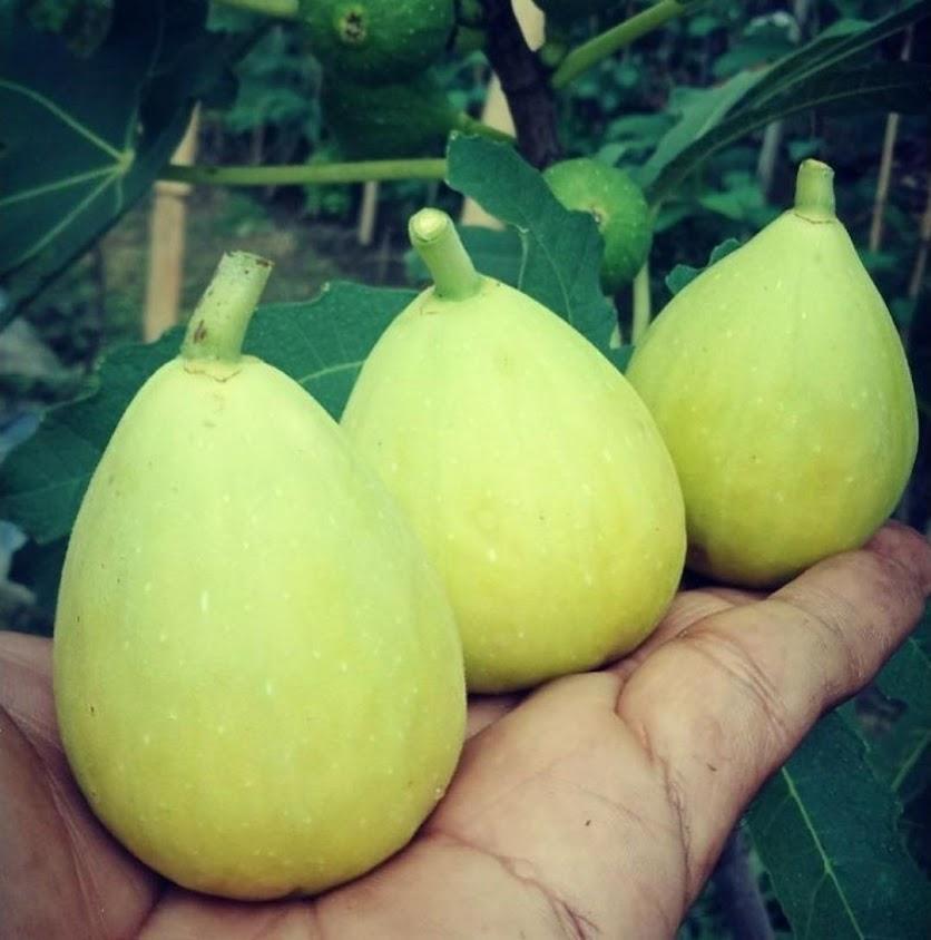 bibit tanaman buah tin aneka varian bibit dari induk yg sudah prodksi buah Sumatra Selatan