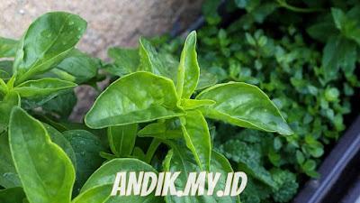 daun, daun kemangi, herbal