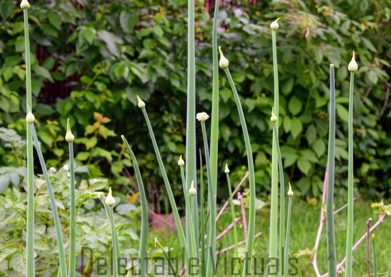 Home-Garden Green Onion Flower Buds Salad