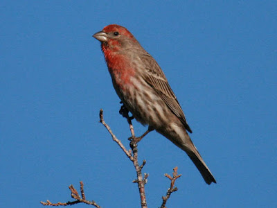 Photo of a House Finch in a tree top