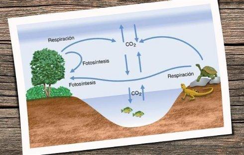 ➞ La Fotosíntesis: Definición , Pasos y Organelos Involucrados