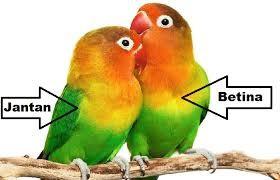 Cara Membedakan Burung Lovebird Jantan Dan Betina