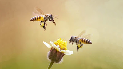 Bees, honey bees, facts about honey bees