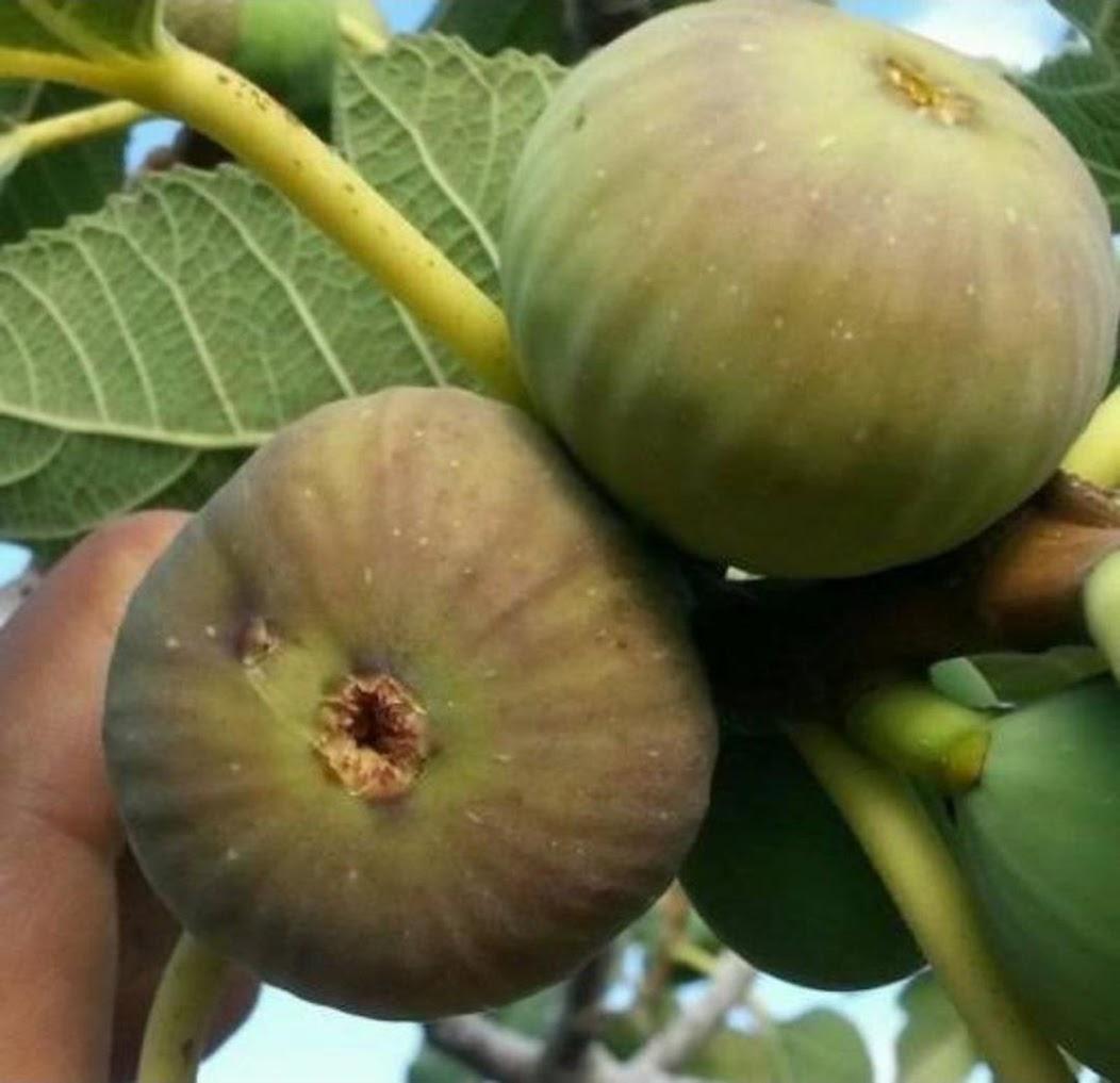 Bibit buah tin jenis ASALI fresh cangkok tin Bekasi