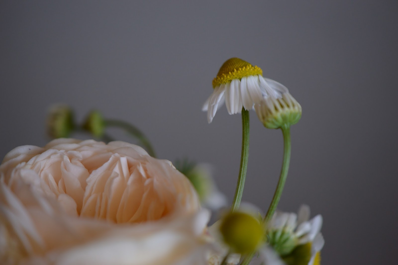 "rose ""crown princess Margareta"", chamomile, Monday Vase meme, English rose"