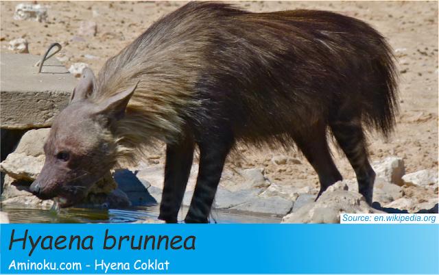 Fakta unik hyena coklat
