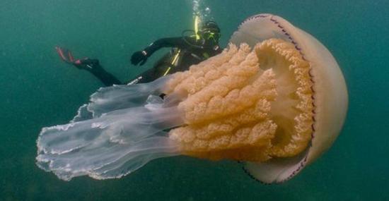 Água-viva gigante surpreende mergulhadores no Reino Unido - Capa