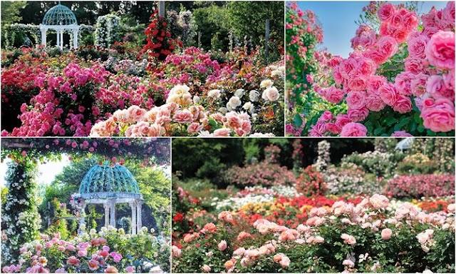 Taman Mawar Terindah di Dunia, Dari mulai Jepang sampai Monako