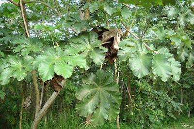 arboles argentinos Ambay Cecropia pachystachya