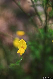 Fleur de genêt, Fontainebleau