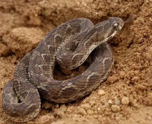 gambar reptil beludak sisik gergaji