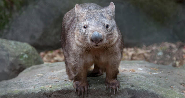 Wombats y zoologia