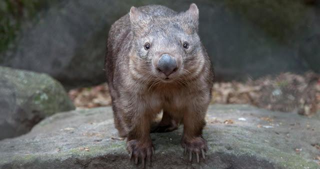 Wombats y zoologia
