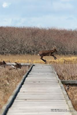 木道を飛び越えるエゾシカ ≪Ezo deer jumped over the boardwalk≫