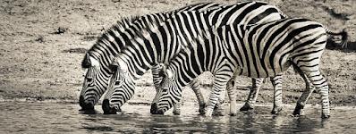 Gambar kuda zebra keren