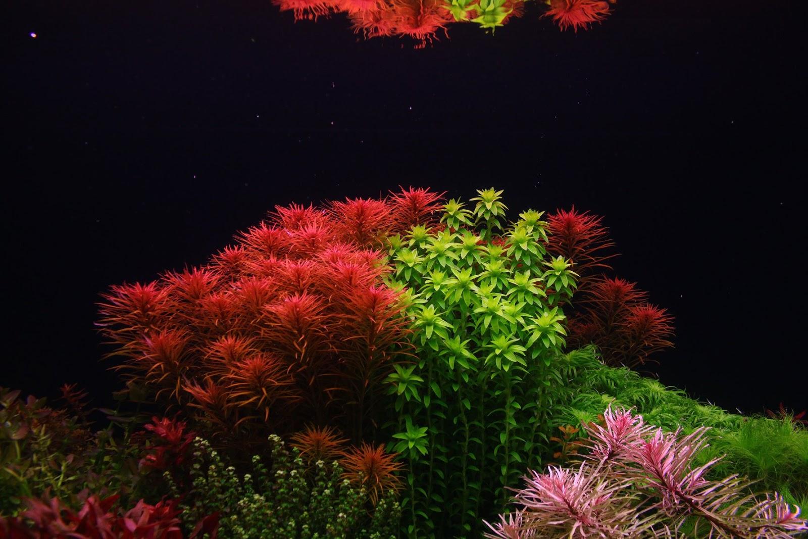 Vẻ đẹp rực rỡ của cây thủy sinh hồng thái dương