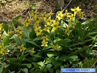 Erythrone d'Amérique - Erythronium americanum