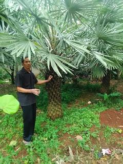 Tukang Taman penjual pohon kopernis alba | copernecia bajul harga paling murah