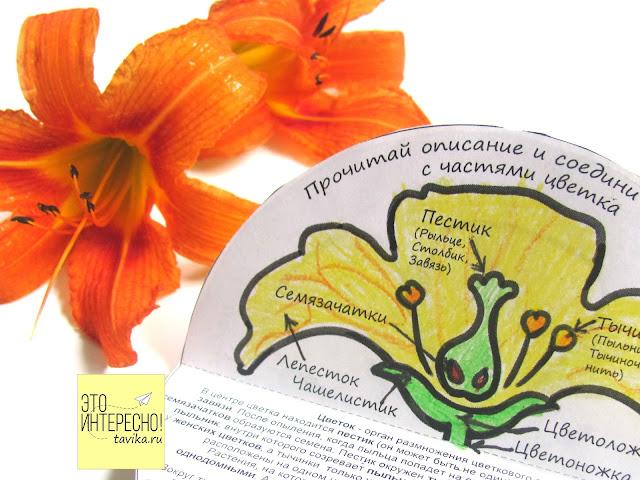 Строение цветка - скачать и распечатать