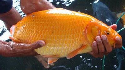 Gambar Ikan Mas  Dunia Binatang