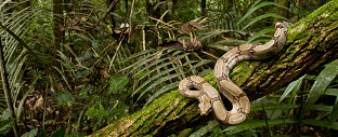Mengapa ular tidak jatuh saat dipohon ?