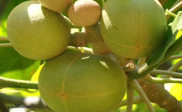 Frutos del ÁRBOL CANDIL Aleurites moluccana