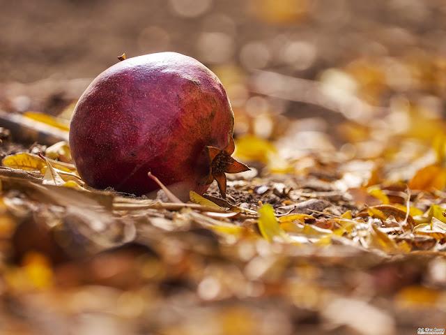 Fallen Pomegranate