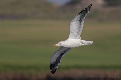 Kelp Gull in Flight Woodbridge Island Vernon Chalmers Photography