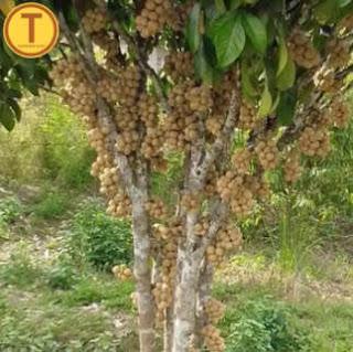 ต้นลองกองตันหยงมัส พันธุ์แท้ จ.นราธิวาส