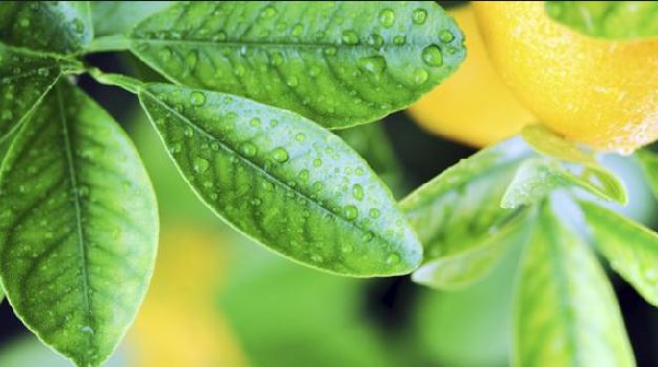 What are the benefits of green lemon leaves?