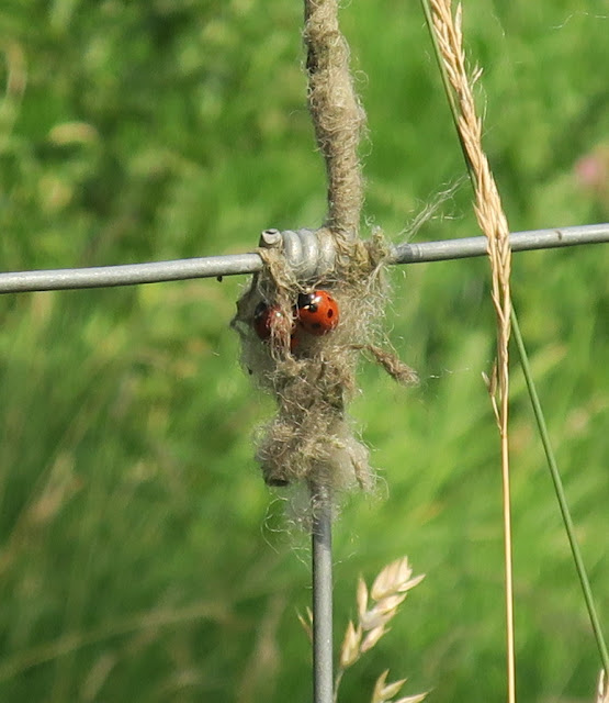 Seven spot ladybirds clustered in sheep's wool on barbed wire fence. West Yorkshire. 9th August 2020.