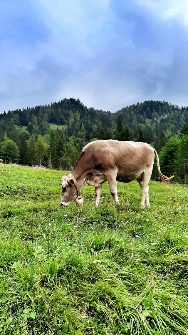 mucca pascolo