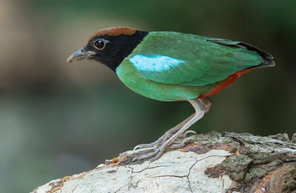Gambar Burung Hijau