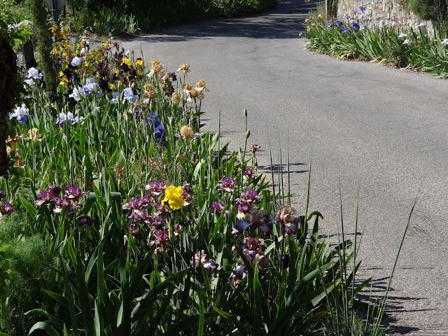 Floraisons 2016 de nos grands iris barbus et Bilan - Page 2 DSC07360