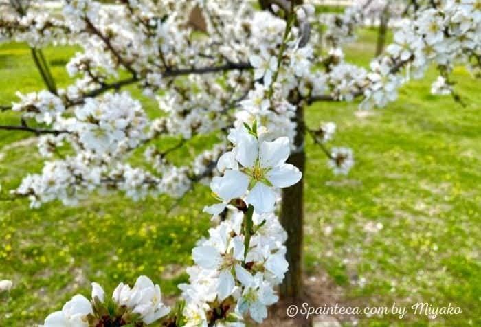 白っぽい花をつけるスペインのアーモンドの花