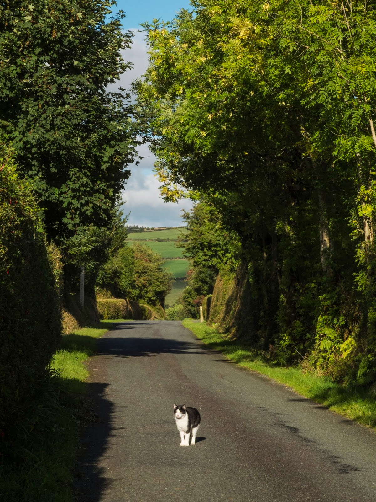 A black and white cat standing in the middle of a county tree tunneled road on a sunny day.