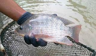 ternak ikan yang paling menguntungkan