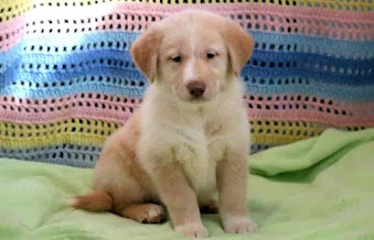 goberian dog, goberian puppies, goberian puppies for sale, goberian breeders
