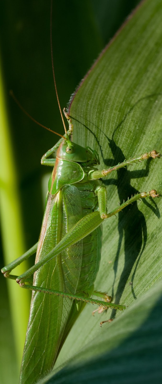 Photo of a grasshopper.