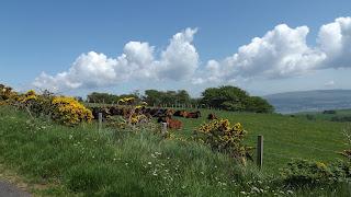Tehenek az Isle of Cumbrae szigeten