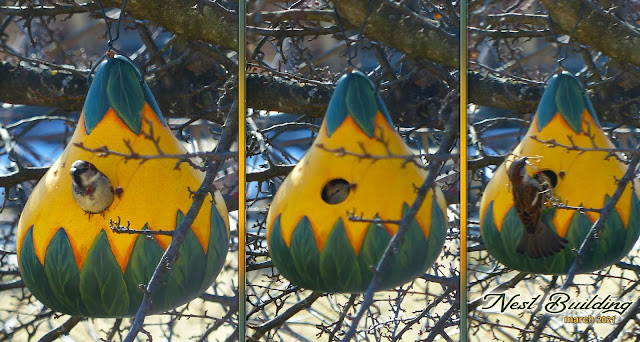A few days after hanging outdoors, Annie Lang's painted kettle gourd birdhouse is now home to a pair of nesting birds.