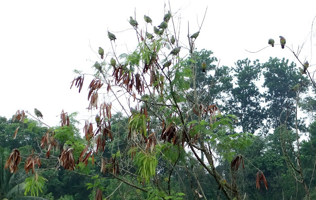 Flock of Pink-necked Green Pigeon