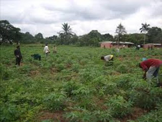 making it big daily is to invest in commercial cassava farming in ngeria