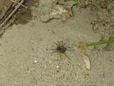 Spider on sand.