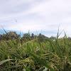 Padi di Areal Persawahan Blang Seumasang Menanti Panen
