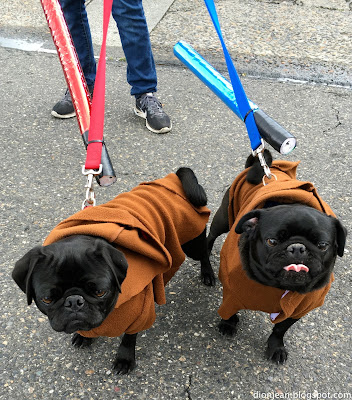 Pugs dressed like Jawa from Star Wars