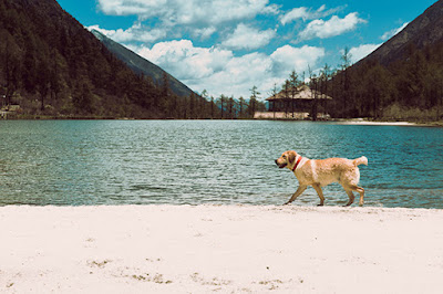 A light brown dog walks along the shores of a lake