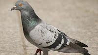 Pigeon bird pictures_Columbidae Colombiformes