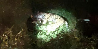 Paris: A tiger escaped from a fallen circus. Its owner stopped