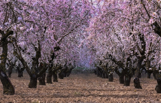 Chùm ảnh đẹp Hoa Anh Đào Nhật Bản vào tháng 02/2020 9